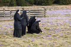 As freiras no prado da montanha com açafrão florescem a florescência Fotos de Stock