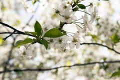 As fruto-árvores de florescência Imagem de Stock