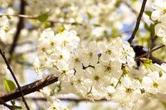 As fruto-árvores de florescência Fotografia de Stock Royalty Free