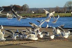 As gaivota com fome comem o pão Imagens de Stock Royalty Free
