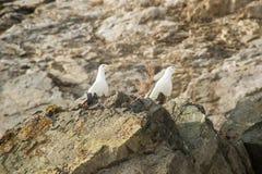 As gaivota do assentamento do pacífico (schistisagus do Larus) fotografia de stock
