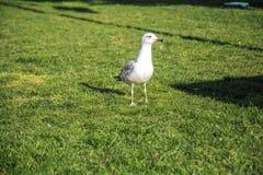 As gaivotas andam nos gramados de Istambul fotografia de stock