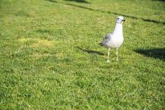 As gaivotas andam nos gramados de Istambul fotos de stock