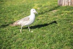 As gaivotas andam nos gramados de Istambul imagem de stock royalty free
