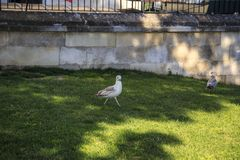 As gaivotas andam nos gramados de Istambul fotografia de stock royalty free