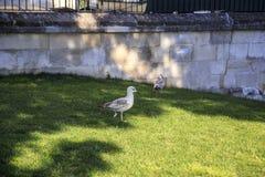 As gaivotas andam nos gramados de Istambul imagens de stock royalty free