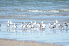 As gaivotas deixam uma reflexão na associação maré fora da linha costeira de Oceano Atlântico fotos de stock royalty free