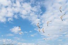 As gaivotas do grupo estão voando no céu azul da nuvem Fotografia de Stock Royalty Free