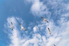 As gaivotas do grupo estão voando no céu azul da nuvem Imagens de Stock