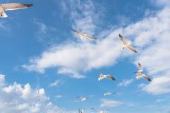 As gaivotas do grupo estão voando no céu azul da nuvem Imagens de Stock Royalty Free