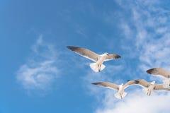As gaivotas do grupo estão voando no céu azul da nuvem Fotografia de Stock