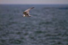 As gaivotas encontram peixes imagens de stock