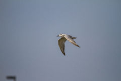 As gaivotas encontram peixes Fotografia de Stock