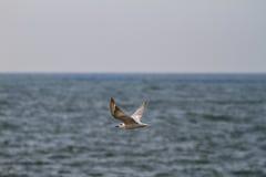 As gaivotas encontram peixes Imagens de Stock Royalty Free