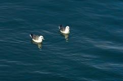 As gaivotas estão descansando na superfície do oceano após um bom almoço Imagem de Stock Royalty Free
