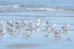 As gaivotas imprimem suas reflexões na associação maré rasa imagem de stock