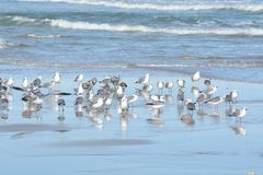 As gaivotas movem-se lentamente de uma extremidade da praia de Florida para o seguinte fotos de stock royalty free