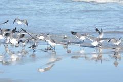 As gaivotas olham como se estão em um espelho ao descansar na associação maré do theshallow fotografia de stock