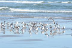 As gaivotas parecem relaxados e seguras na ilha norte de Florida imagem de stock royalty free