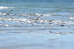 As gaivotas passam a maioria de seu tempo que procura pelo alimento ao longo da costa da ilha fotos de stock royalty free