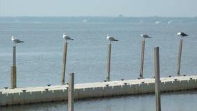 As gaivotas pearched em uma doca na praia de Ho Hum na ilha do fogo vídeos de arquivo