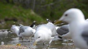 As gaivotas que alimentam na lagoa do verão suportam na natureza do norte de Noruega filme