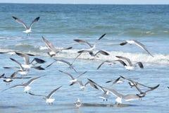 As gaivotas voam como um rebanho fora da associação maré da linha costeira foto de stock royalty free