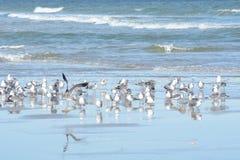 As gaivotas voam dentro e fora da associação maré de Oceano Atlântico fotos de stock royalty free