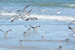 As gaivotas voam no uníssono apenas acima do tidalpool raso foto de stock
