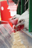 As galinhas aproximam uma calha de alimentação Fotos de Stock