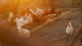 As galinhas bonitas comem a gr?o filme