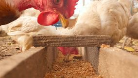 As galinhas comem a grão Close-up video estoque