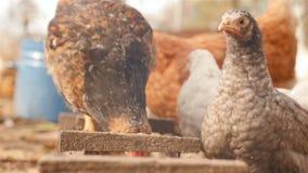 As galinhas comem a grão dos alimentadores Close-up do movimento lento video estoque
