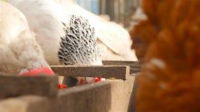 As galinhas comem a grão no alimentador Exploração agrícola de galinha no ar livre filme