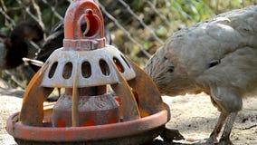 As galinhas comem grões na exploração agrícola filme