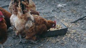 As galinhas comem o milho em uma exploração agrícola do pássaro Galinhas domésticas de alimentação na exploração agrícola video estoque