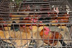 As galinhas da exploração agrícola podem espalhar os vírus Sars, H7N9, H5N8 e H5N1 em China, em Ásia, em Europa e nos EUA Imagens de Stock Royalty Free