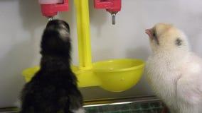 as galinhas de Dois-dia aprendem beber a água de uma calha em uma chocadeira vídeos de arquivo