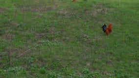 As galinhas de granja est?o indo ao celeiro filme
