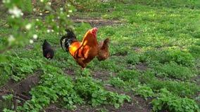 As galinhas de granja est?o indo ao celeiro video estoque