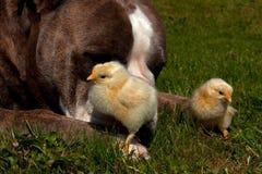 As galinhas dias de idade penduram para fora com um buldogue inglês velho imagem de stock royalty free