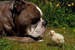 As galinhas dias de idade penduram para fora com um buldogue inglês velho fotografia de stock royalty free
