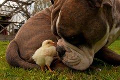 As galinhas dias de idade penduram para fora com um buldogue inglês velho fotografia de stock