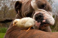 As galinhas dias de idade penduram para fora com um buldogue inglês velho imagens de stock royalty free