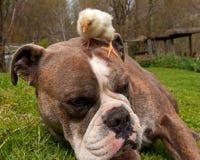 As galinhas dias de idade penduram para fora com um buldogue inglês velho imagens de stock