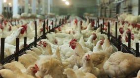 As galinhas domésticas comem o alimento dos alimentadores no cozinheiro moderno vídeos de arquivo