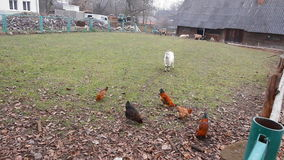 As galinhas estão procurando o alimento entre as folhas da queda video estoque