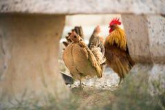 As galinhas estavam encontrando para o alimento fora da galinha-casa foto de stock