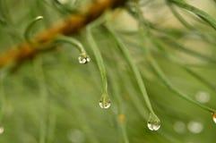 As gotas da água de chuva em um pinho ramificam à vista da luz solar Fotos de Stock