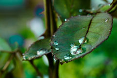As gotas da água na folha aumentaram Foto de Stock